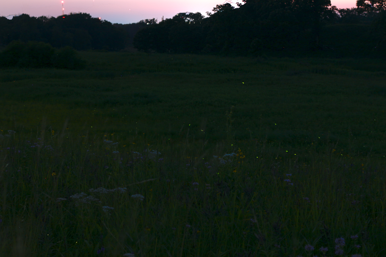 A composite image that only hints at the many lightning bugs we saw when we took our questioner out to Bluff Spring Fen, near Elgin. (WBEZ/Sean Kennedy)