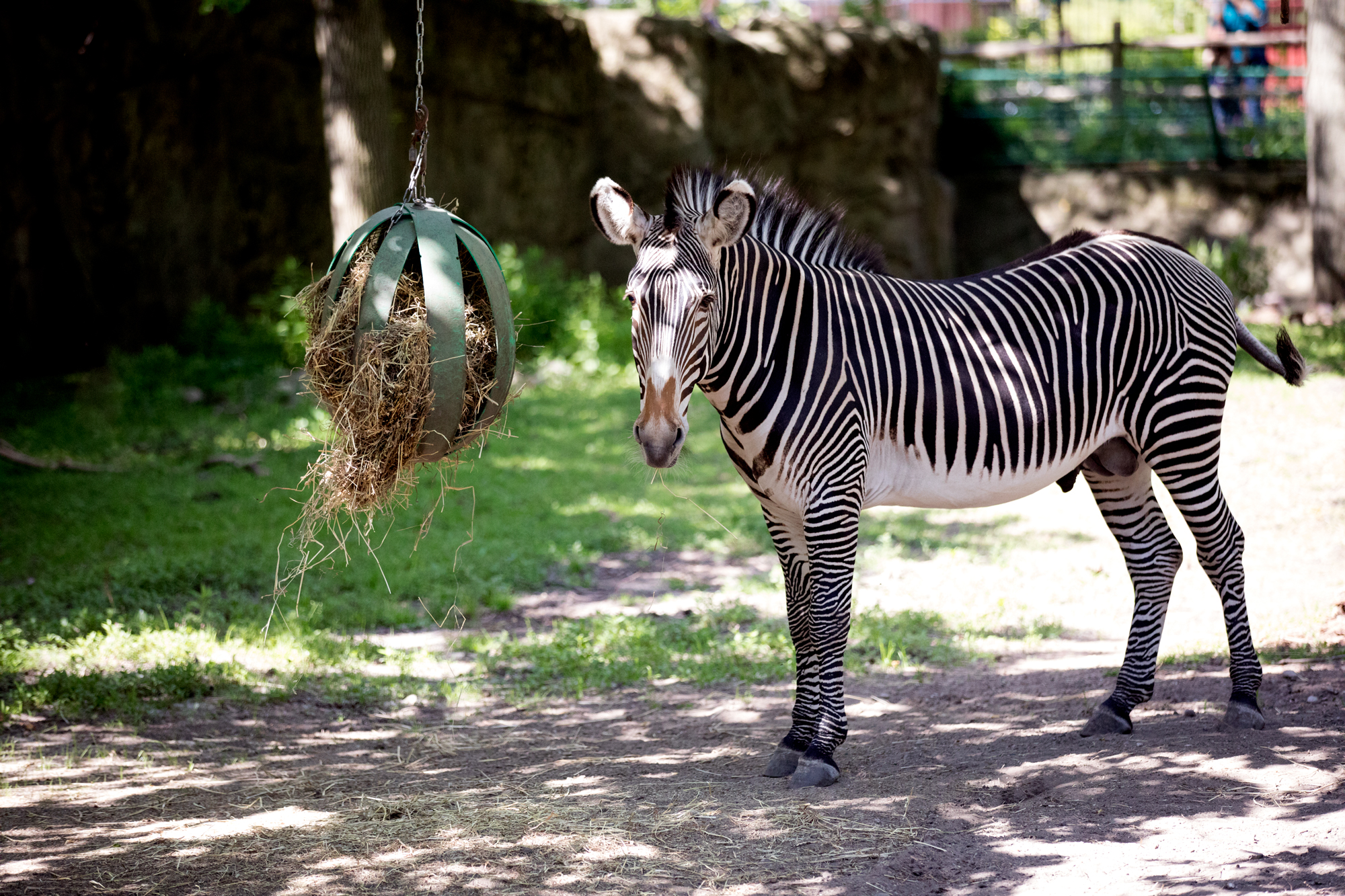 A zebra at the Lincoln Park Zoo on June 9, 2017. (Andrew Gill/WBEZ)