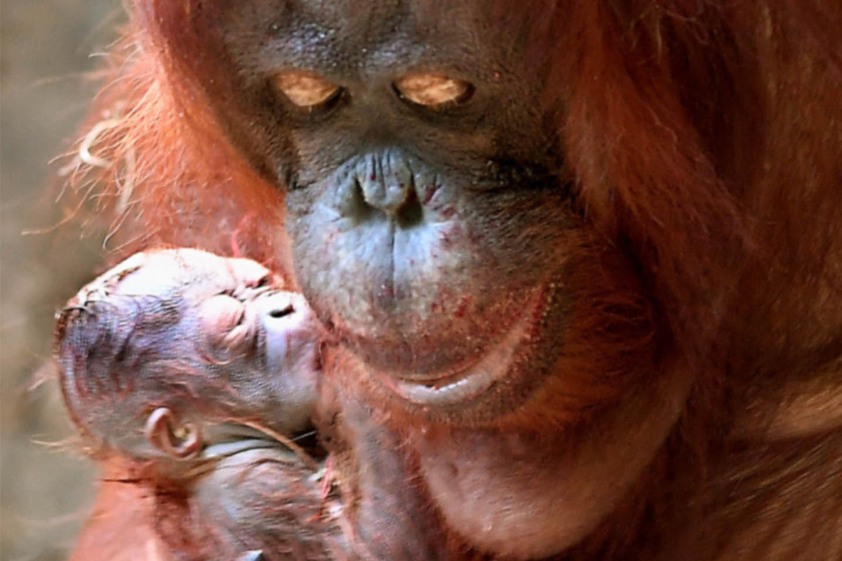 The baby orangutan was born to 35-year-old Sophia and father Ben. (Photo courtesy Chicago Zoological Society.)
