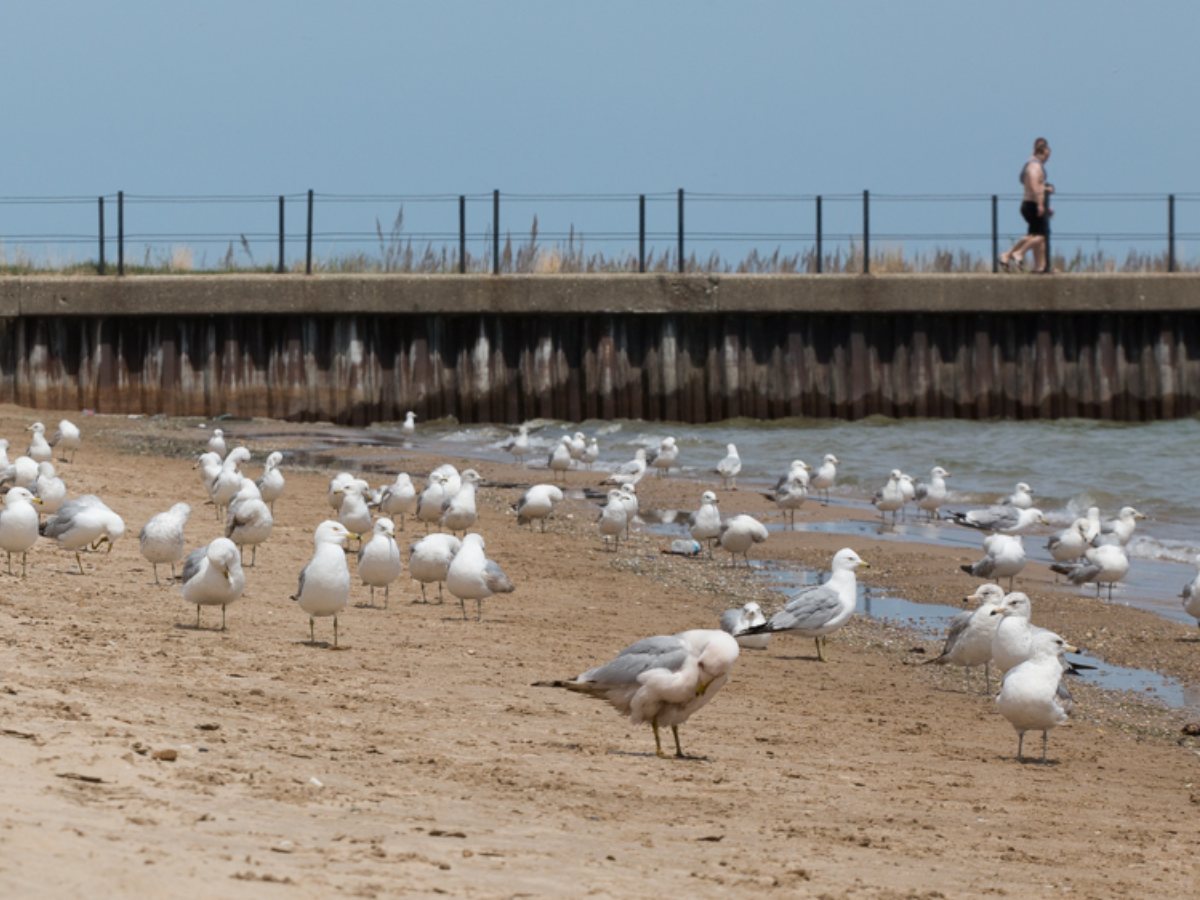 Birds feces is a major source of bacteria in Chicago beach water, experts say. Here, they flock on the shoreline at Loyola Beach on Chicago's North Side. (Shawn Allee/WBEZ)