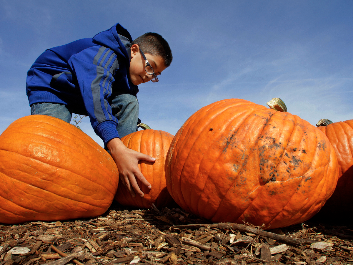 Louie Davila searches for just the right pumpkin to be carved into a jack-o-lantern for Halloween at John Ackerman's pumpkin farm Tuesday, Oct. 9, 2012, in Morton, Ill.. (AP Photo/Seth Perlman)