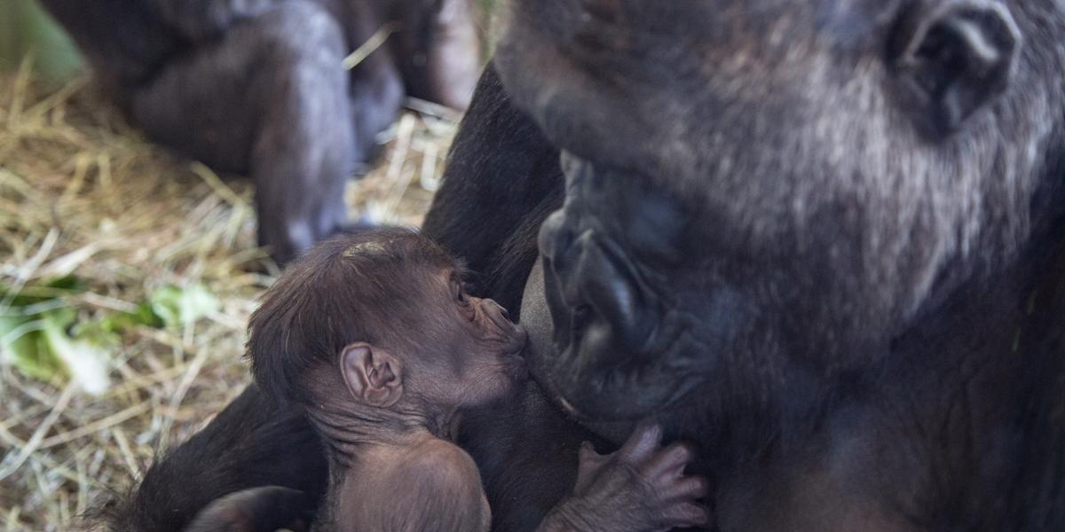 little gorilla 2