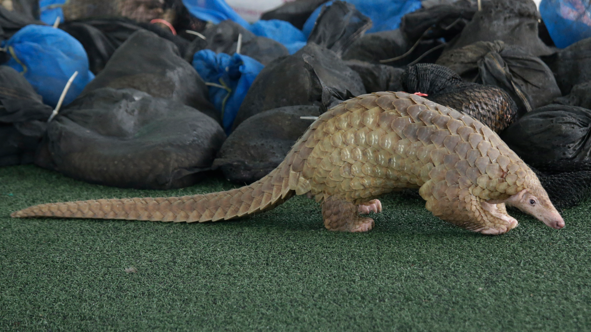 A Thai customs official display some of the 136 pangolins and 450 kgs. (992 lbs.) of pangolin scales it seized, estimated to be worth over 2.5 million baht (USD$75,278), in Bangkok on Thursday, Aug. 31, 2017. (AP Photo/Sakchai Lalit)