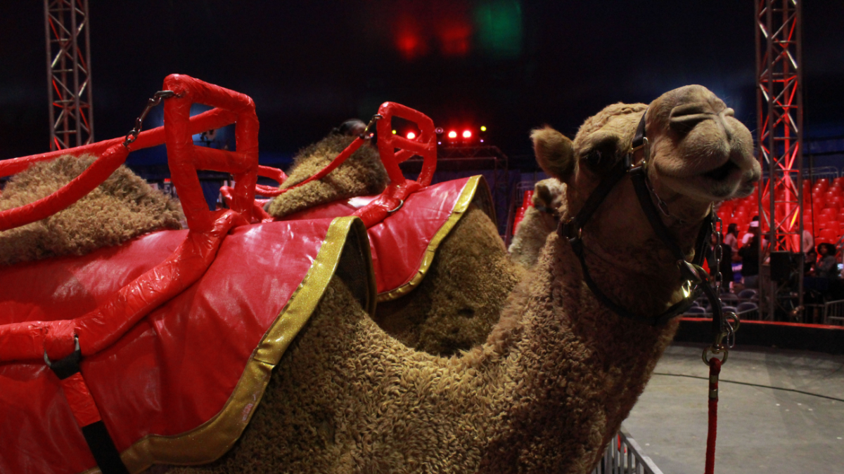 Camel rides were offered to circus-goers as they waited for the show to start. PETA has criticized the circus for its use of animals and says it will continue to protest UniverSoul's opening night shows as it tours to different cities.      (Ambriehl Crutchfield/WBEZ)