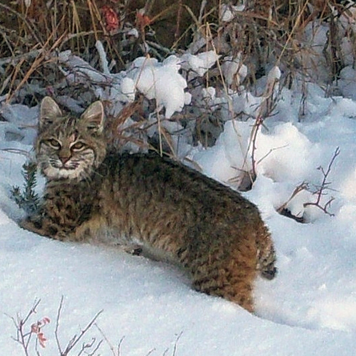 Illinois conservationists seek coveted bobcat hunting for Idnr fishing license