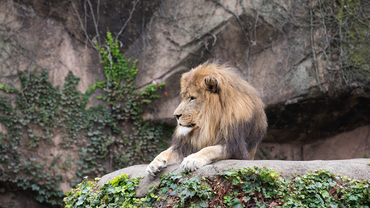 Nine-year-old Sahar is one of three lions relocating to Rolling Hills Zoo in Kansas so Lincoln Park Zoo can renovate its lion habitat.