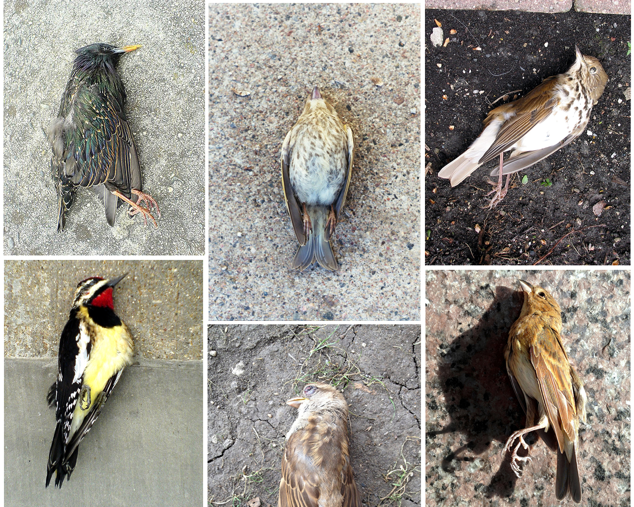 Chicago\'s Killer View: The Skyline\'s Toll On Migratory Birds   WBEZ