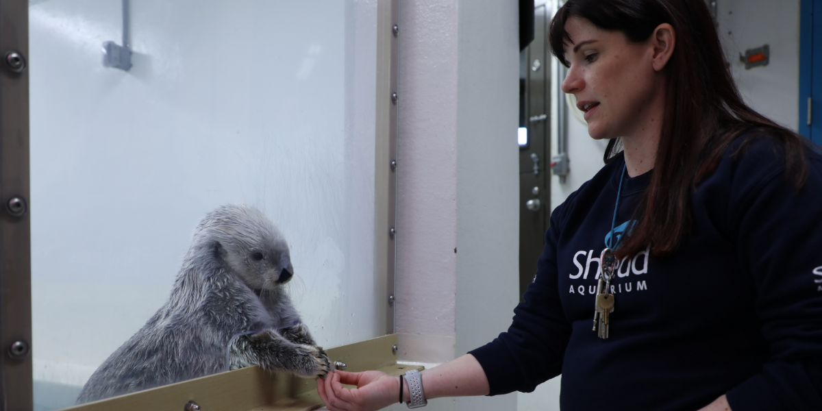 Shedd Aquarium trainer Jen Becker takes 'Morning Shift' behind the scenes of its new otter encounter program to meet the otters Kiana (pictured) and Ellie. (Stephanie Kim/WBEZ)