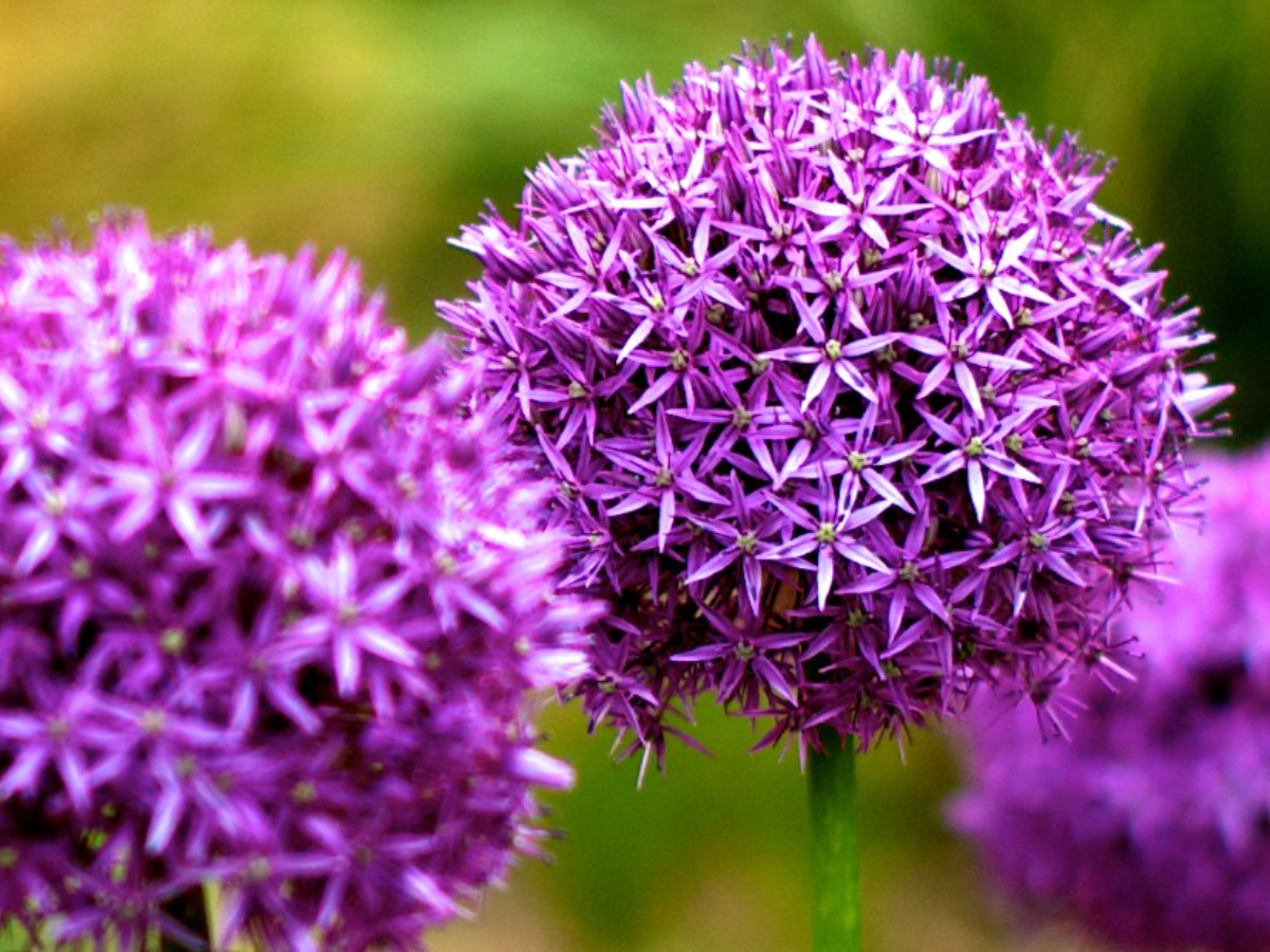 Alex Kingston calls the allium plant 'a volleyball-sized explosion of teeny-tiny starlike flowers.' (Dave Leeming/Flickr)