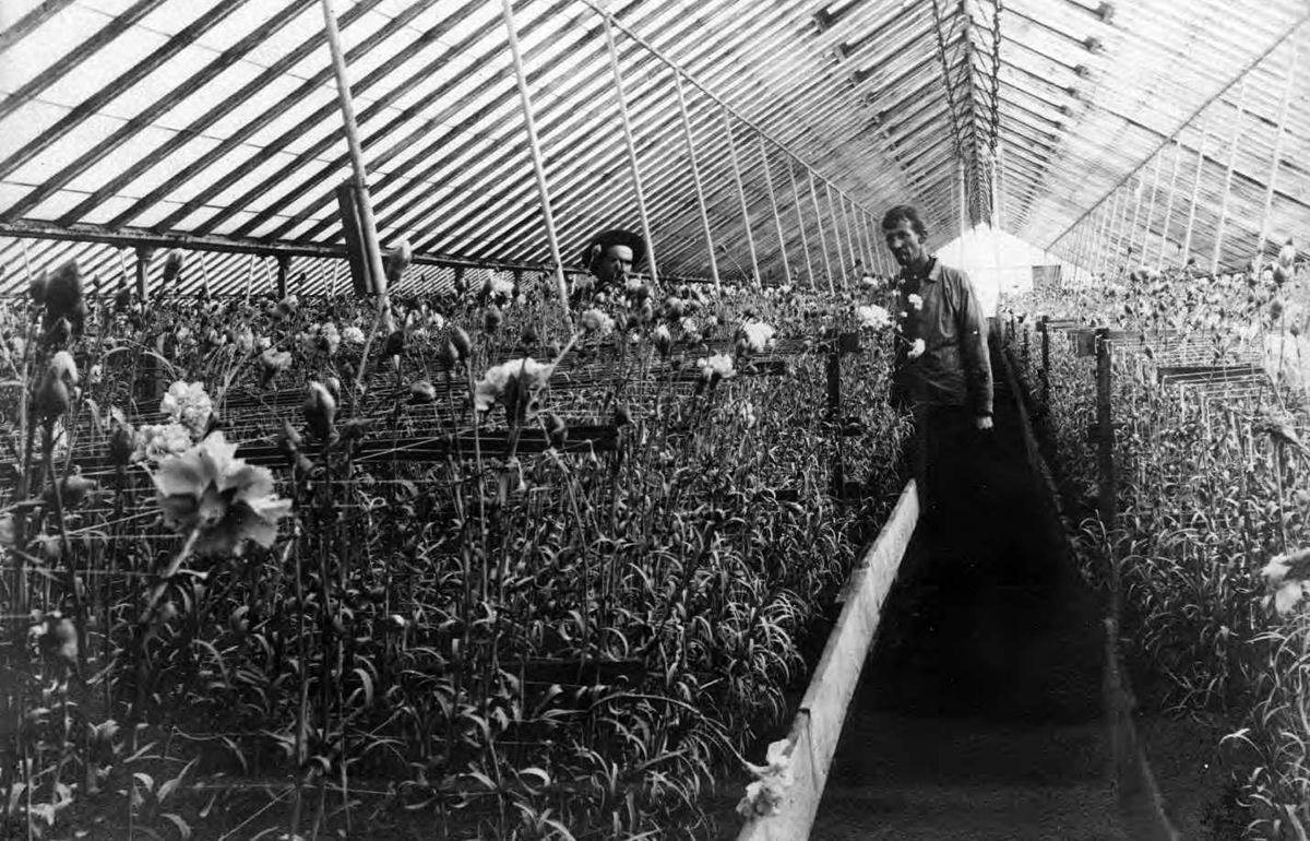 Budlong Nursery grew and exported flowers like carnations and roses. (Courtesy Sulzer Library)