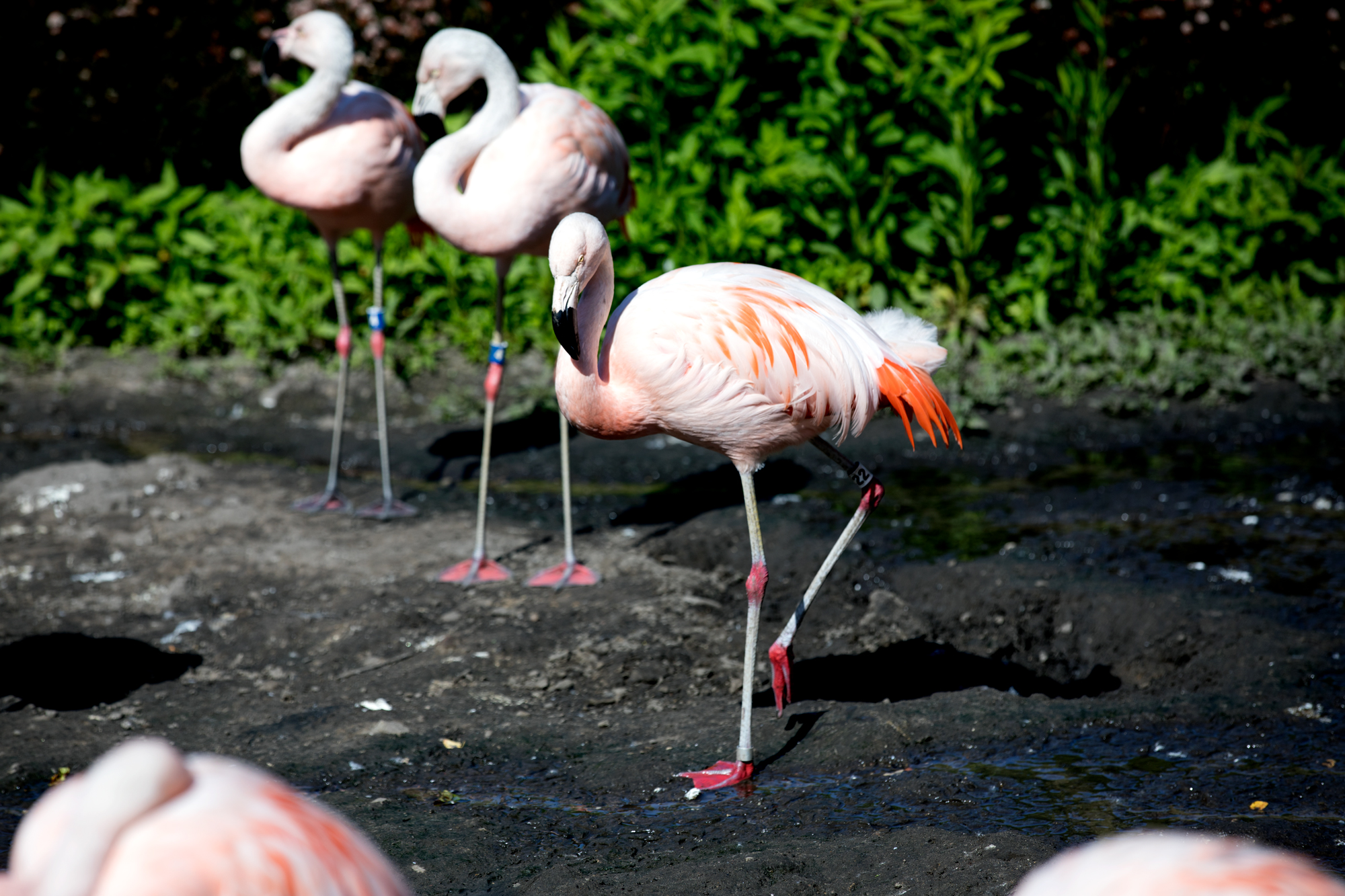 Flamingos at the Lincoln Park Zoo on June 9, 2017(Andrew Gill/WBEZ)
