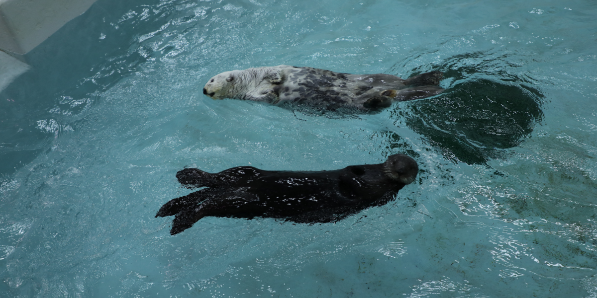 Kiana, 16, and Ellie, 4, swim around in the Shedd's otter reserve habitat. The otters are among the rescues that live at the Shedd Aquarium. (Stephanie Kim/WBEZ)