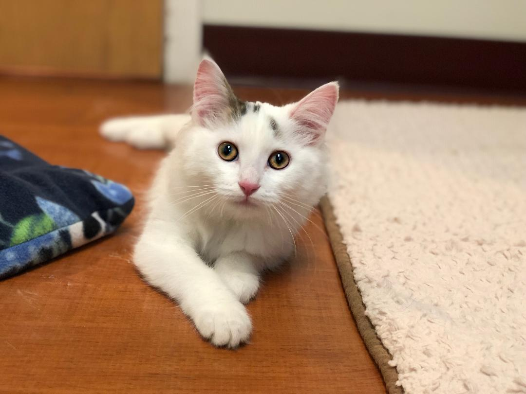 Kele is a five-month-old special needs kitten, who was born with a congenital spine malformation. 'Kele needs an especially devoted family to manage her limitations and provide her with regular medication/veterinary care, but in return she is eager to offer unlimited love!' -PAWS Chicago
