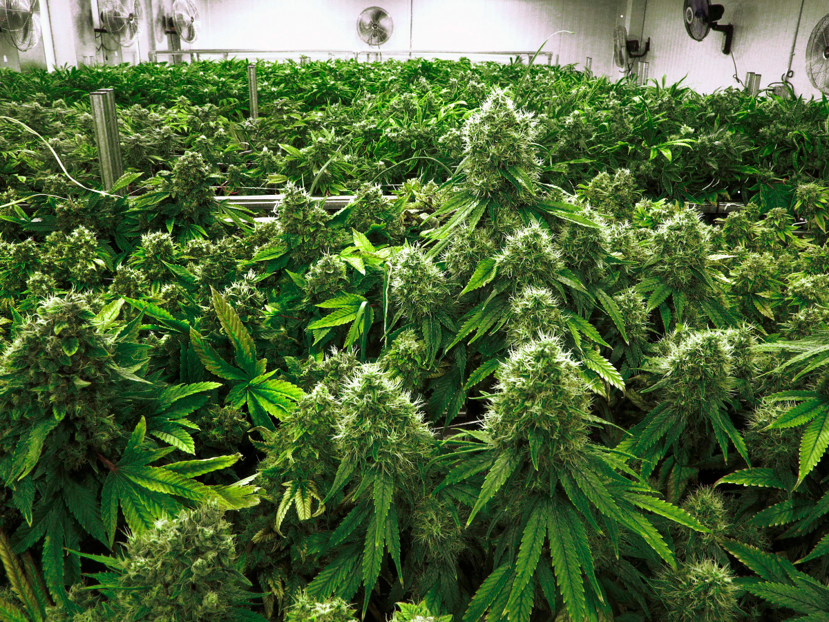 pros cons of legalizing marijuana The debate over the pros and cons of legalizing marijuana in america has been raging for decades and the fact that half the states in the country have legalized some form of weed – medical or recreational – has only added chaos.