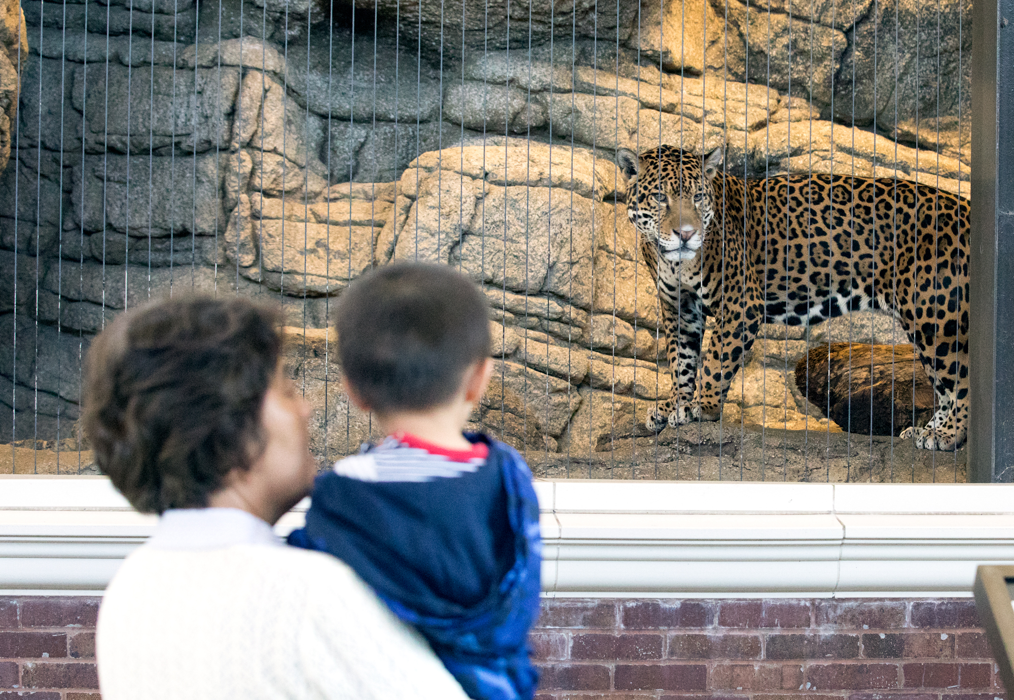 A family takes a look at a jaguar at the Lincoln Park Zoo on June 9, 2017. (Andrew Gill/WBEZ)