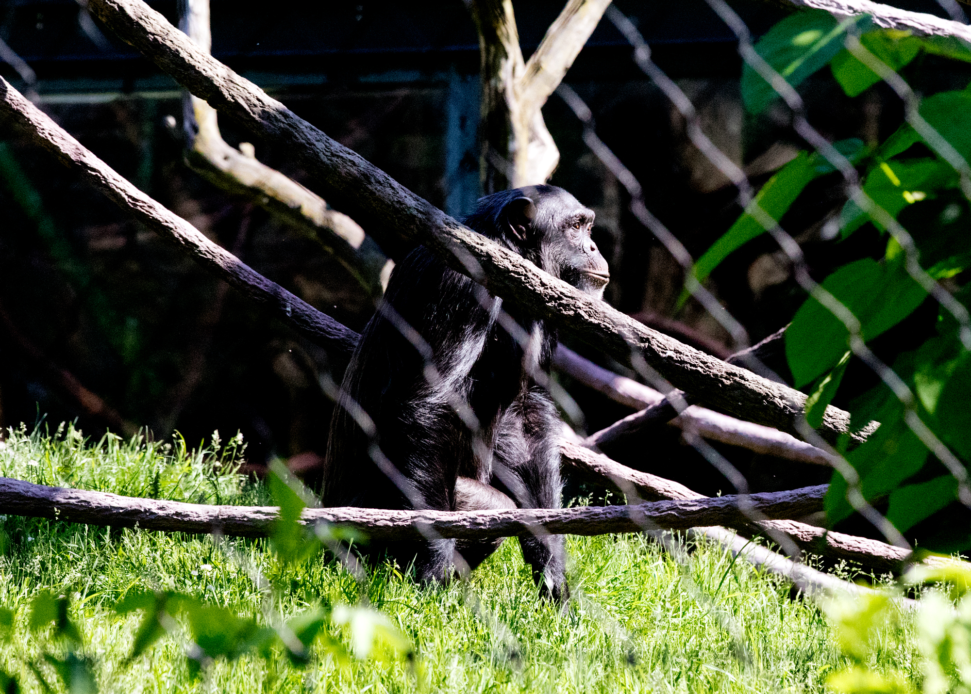 A chimpanzee at the Lincoln Park Zoo on June 9, 2017. (Andrew Gill/WBEZ)
