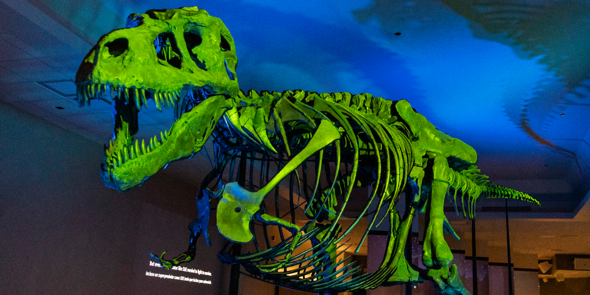 The exhibit of the Field Museum's popular tyrannosaurus, SUE an immersive experience. (Manuel Martinez/WBEZ)